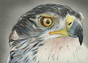 Обои Рисованные Птицы Ястреб Голова Клюв
