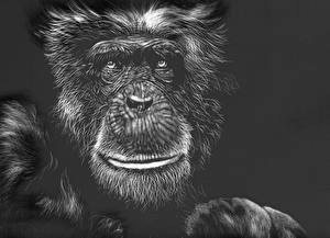Картинки Рисованные Обезьяны Черно белое Черный фон Лицо Животные