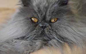 Обои Персидская кошка Коты Морда Пушистый Смотрит Животные