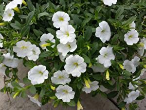 Фотографии Петуния Крупным планом Белая Цветы