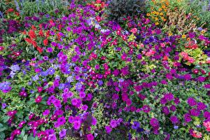 Обои Петунья Флоксы Много Цветы