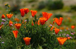 Картинка Мак Красные цветок
