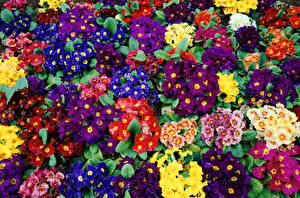 Обои Первоцвет Много Разноцветные Цветы