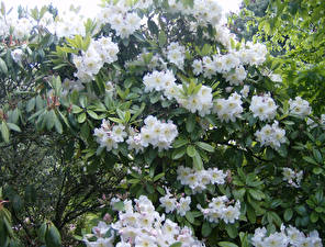 Обои Рододендрон Белый Цветы