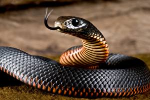 Фотография Змеи Вблизи Язык (анатомия) Red-bellied black snake Животные