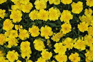 Обои Бархатцы Крупным планом Желтые цветок