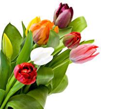 Фотографии Тюльпаны Вблизи Белый фон Цветы