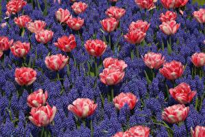 Картинки Тюльпаны Гиацинты