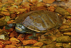 Фото Черепахи Камень