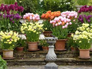 Обои Великобритания Сады Тюльпаны Нарциссы Много Garden Harlow Carr