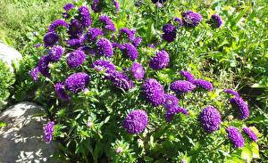 Фото Астры Фиолетовый цветок