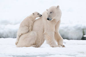 Фотографии Медведи Полярный Детеныши Двое Животные