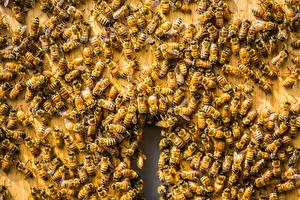 Картинка Пчелы Много Животные