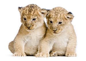 Картинки Большие кошки Львы Детеныши Белый фон Двое Животные