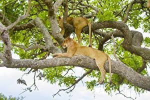 Фотография Большие кошки Лев Львица Ветки Два Животные