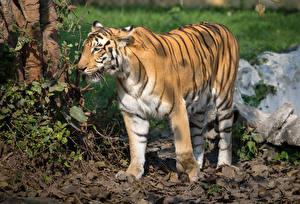 Фотографии Большие кошки Тигры