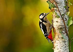 Картинка Птицы Ствол дерева Березы Dendrocopos Животные