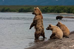 Обои для рабочего стола Медведи Бурые Медведи Воде Озеро Камчатка Россия Kurile Lake Животные