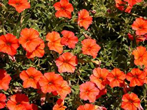 Фотографии Калибрахоа Крупным планом Оранжевый Цветы