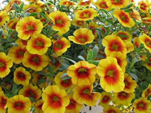 Картинка Калибрахоа Вблизи Желтый Цветы