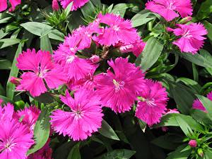Картинка Гвоздика Крупным планом Розовая Dianthus barbatus цветок