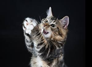 Картинки Коты Черный фон Лапы