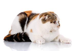 Фотографии Коты Вблизи Скоттиш-фолд Белым фоном Животные
