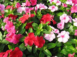 Картинки Вблизи Vinca Цветы