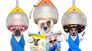 Фотографии Креативные Собаки Белый фон Бульдог Чихуахуа Джек-рассел-терьер Журнал Трое 3 Забавные животное