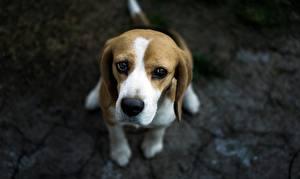 Фотографии Собаки Бигль Смотрит Грусть Животные