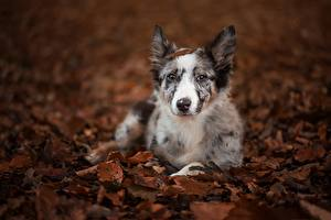 Обои Собаки Листва Щенок Бордер-колли