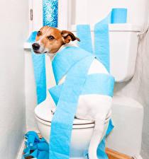 Фотография Собаки Джек-рассел-терьер Туалет Бумаге Смешные Животные