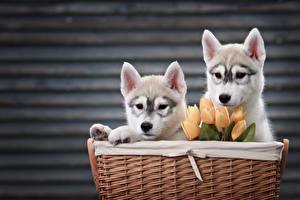 Фотографии Собаки Тюльпаны Корзина Двое Хаски Щенок Животные