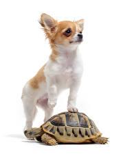 Фотографии Собака Черепахи Белым фоном Двое Чихуахуа