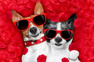 Фотографии Собаки 2 Джек-рассел-терьер Чихуахуа Очки Лепестки