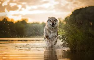 Фото Собаки Вода Бег Брызги Животные