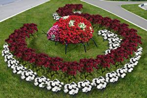 Картинка Сады Бегония Дизайн Газон