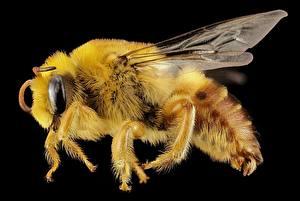 Картинка Насекомые Пчелы Макро Крупным планом Черный фон Животные