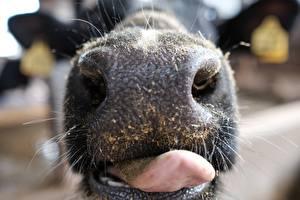 Картинка Макросъёмка Вблизи Корова Нос Язык (анатомия) Животные
