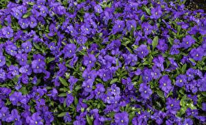 Фото Много Вблизи Фиолетовый Aubretia Цветы