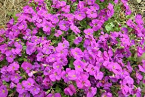 Фотография Много Фиолетовый Lobelia Цветы