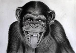 Фотография Рисованные Обезьяны Черно белое Морда Смотрит Язык (анатомия) Chimpanzee Животные