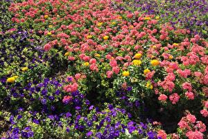 Картинки Петунья Бегония Много Цветы