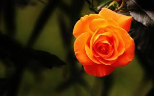 Фотография Розы Оранжевый Цветы