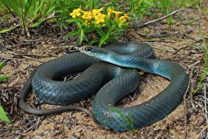 Фотография Змея Blue Racer