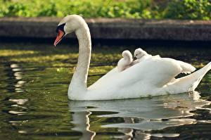 Обои Лебеди Птенцы Вода Белый