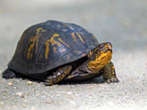 Картинка Черепахи Вблизи животное