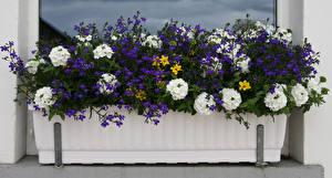 Фото Вербена Много Lobelia Цветы