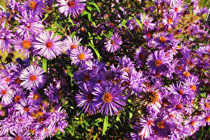 Фотография Астры Крупным планом Цветы