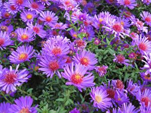 Фотография Астры Вблизи Фиолетовая Цветы